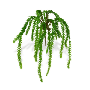 Asparagus mini 30cm