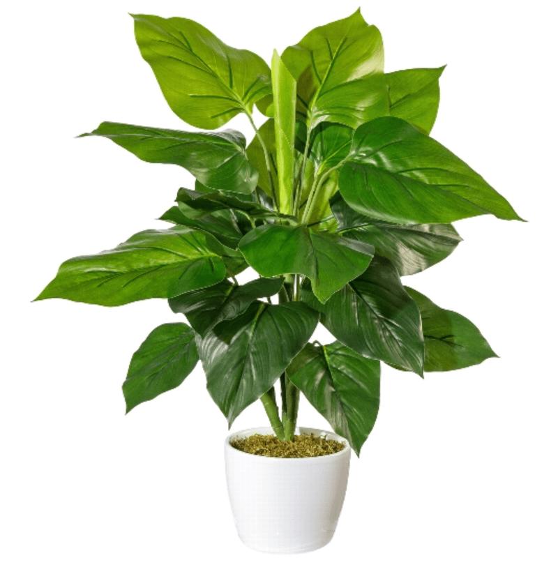Philodendron tufa fara ghiveci 50cm