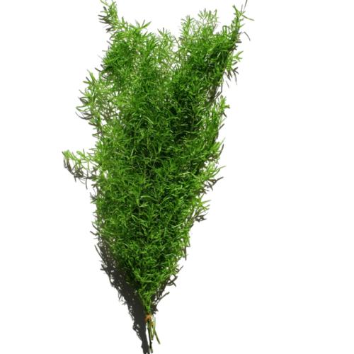 Planta conservata Asparagus Sprengeri