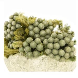 Planta conservata Brunia