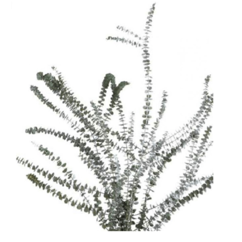 Planta conservata Eucalipt verde albastru