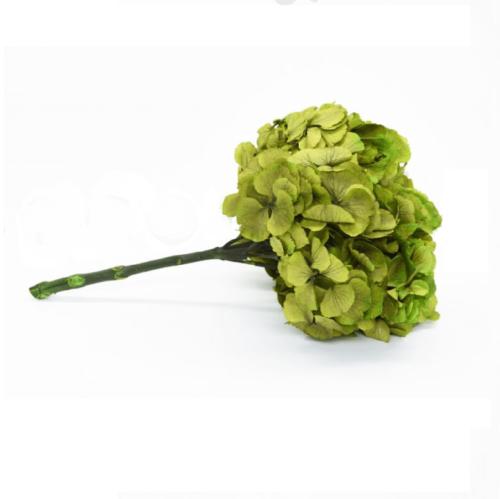 Planta conservata Hortensie verde