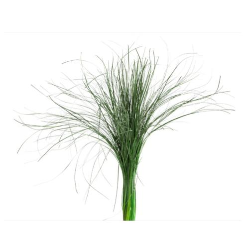 Planta conservata Iarba Ursului verde