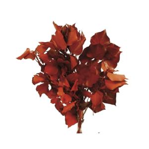 Planta conservata Iedera Red