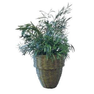 Planta conservata Nicoly detaliu
