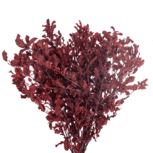 Planta conservata Pittosporum Red