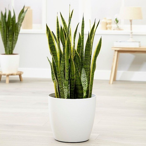 Sansevieria planta naturala ghiveci sintetic alb 1