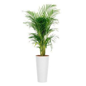 areca planta naturala ghiveci sintetic alb