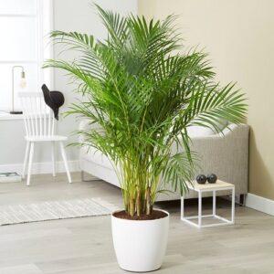 areca planta naturala ghiveci sintetic alb 1