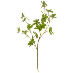 Pittosporum verde pic