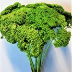 Planta uscata achilea verde
