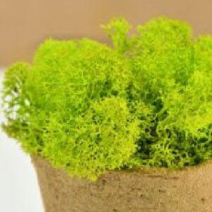 licheni premium green lime 0
