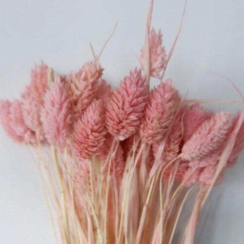 planta uscata phalaris mini roz pal